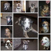 Therapy dog photo collage