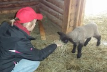 Young teen feeds baby sheep